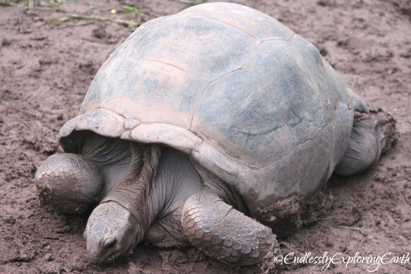 Old Giant Tortoise